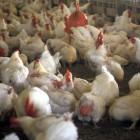 Chickens in chicken house