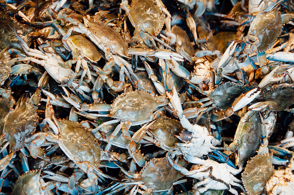 Revisiting 'Beautiful Swimmers': Pollution, hardened shores threaten crabs as much as overfishing