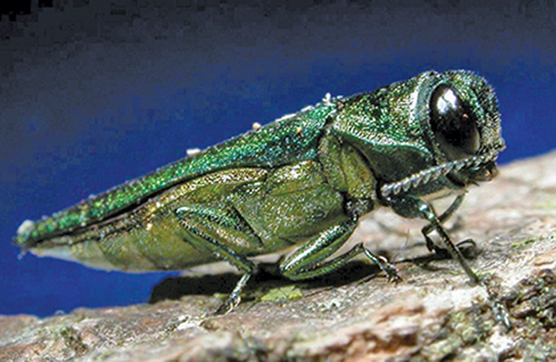 Scientists try to save some Md. ash trees from extinction by green beetle