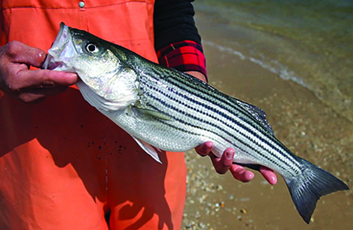 Young-of-year rockfish have another poor year in Md., better in Va.