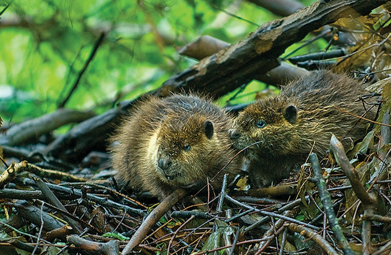 Tom Horton: Leave it to beavers: Their ability to alter land should be revisited