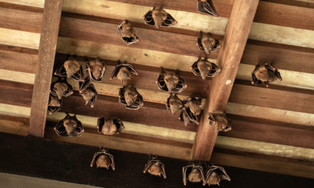 Maryland Bat Removal Tips For Identifying If You Have Bats In Your Roof