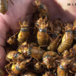 Cicadas will soon invade the state of Maryland